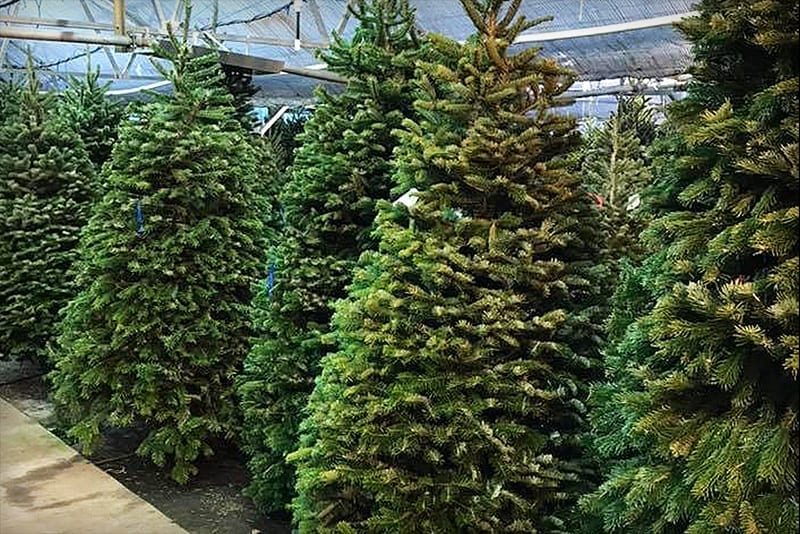 Christmas Trees Images.Christmas Trees Bells Nursery